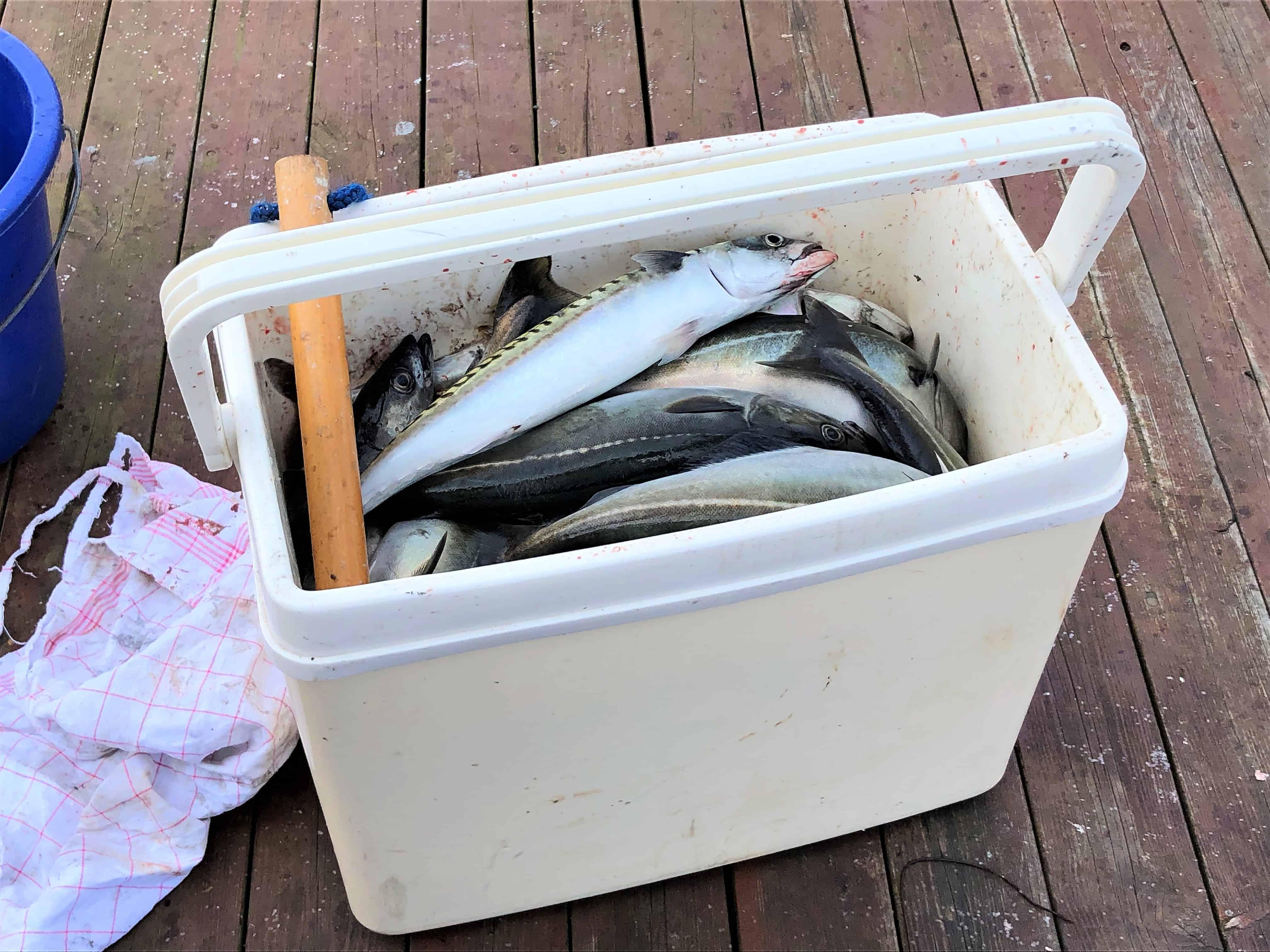 Fisket makrell i havnebassenget