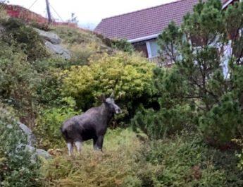 Våknet til elg i hagen (Video)
